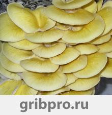 Купить мицелий золотой вешенки 304Р