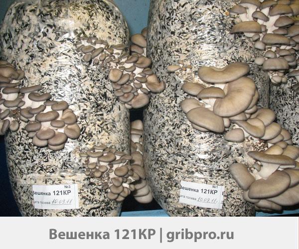 мицелий вешенки 121КР