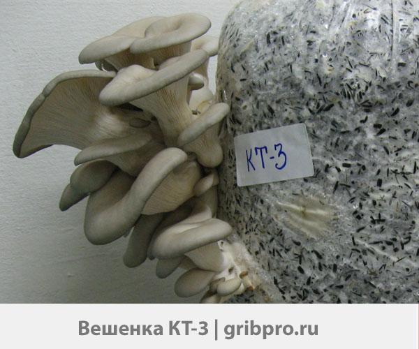 мицелий вешенки КТ-3