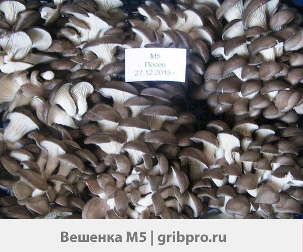 Сколько весит пачка мицелия грибного