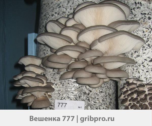 мицелий вешенки 777