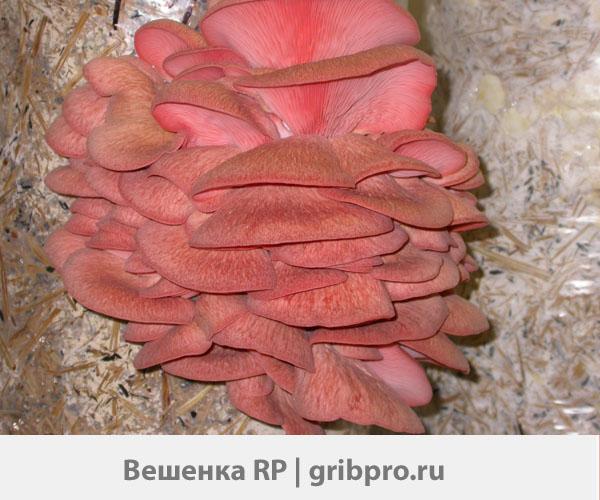 мицелий розовой вешенки RP